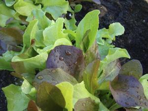 Bladväxter kräver inte massor med näring men de vill ha jämn tillgång på den. Näringen som du tillfört lådan i starten räcker till den första skörden.