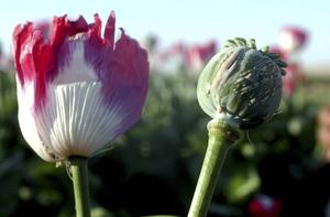 Opiumvallmon, källa till det smärtstillande morfinet men också till droger som förslavat miljoner.