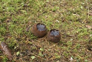 Bombmurklan är sällsynt. Foto: MM Arkiv
