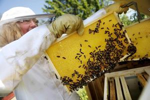Vaxkakorna i den så kallade skattlådan där bin lagrar honungen börjar fyllas på i försommartid.