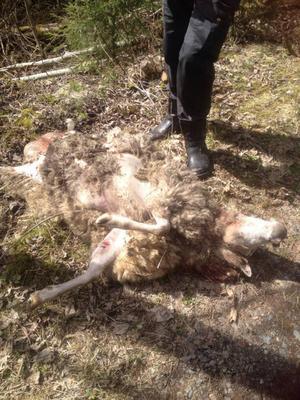 En tacka och två lamm dödades i samband med en av björnattackerna.