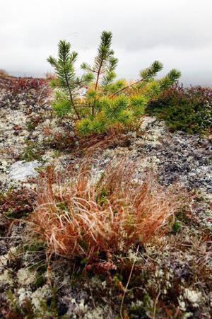 Spår av dagens klimatförändringar. Nya tallar sticker upp på Sonfjällets karga kalfjäll.