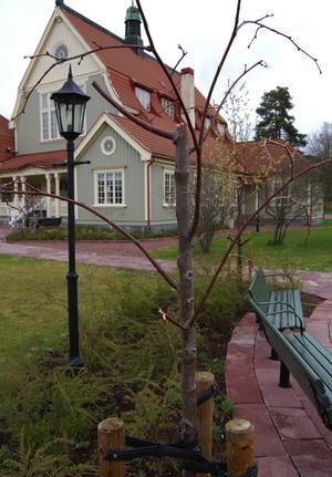 Förstört. Flera träd i Tingshusparken har brutits av, vilket också kostar kommunen stora pengar.