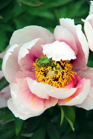 Nu i juni blommar buskpionerna med praktfulla vita och rosa blommor.