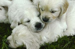 Golden retriever är vår näst populäraste hundras.