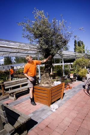 Gammal är äldst. Lars Mobacke visar ett olivträd som är 150 år gammal.
