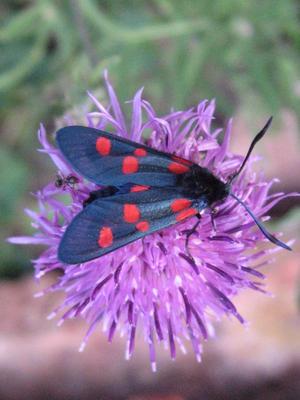 Kryper runt i buskar och snår och leker med makro-inställningen på kameran och lyckas fånga en prickig fjäril.