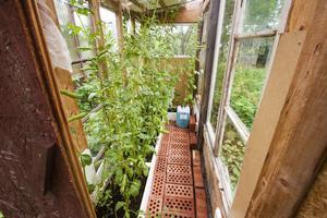 Bönor växer fint i ett annat lite mindre växthus som står i anslutning till det stora.