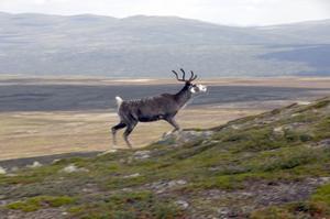 Alperna har sina alpgetter medan vandrarna ofta möter renar i Långfjällen.
