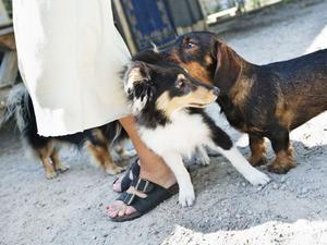 välkommen. Taxen Hugo hälsar på Shetland sheepdog-valpen Brego som snart ska skolas in på hunddagiset.