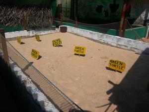 I sådana här sanddyner grävde vi ner sköldpaddsskal för att de skulle bli färdiga och kläckas till ungar. En dag gamla släpps de till det fria i havet, men tyvärr är det bara en av tio som överlever.
