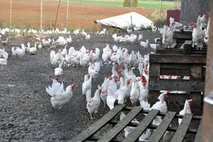 Catarinas Sprätthönseri har omkring 6 000 höns som producerar ungefär 5 500 ägg per dygn.