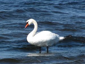 En solig och fin dag på Södra Öland, passar svanen påatt ta ett dopp i Kalmarsund den 16 Aug. 2011.