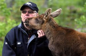 Bilden är tagen sommaren 2009. Älgkalven Kalle har precis räddats till livet och följer efter Lars Arkesjö vart han än går. Men snart tar en åklagare beslut om att kalven måste avlivas.