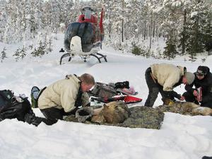 Jon Arnemo och Per Ahlqvist jobbar med vargarna tillsammans med Linda Ersson från länsstyrelsen