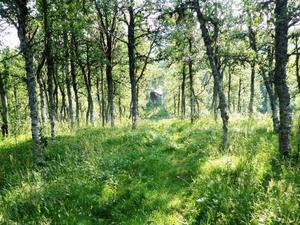 Den gamla fäbodvallen är i dag omgiven av björkskog. Mitt i bild skymtar bastun.   Foto: Mats Kålen