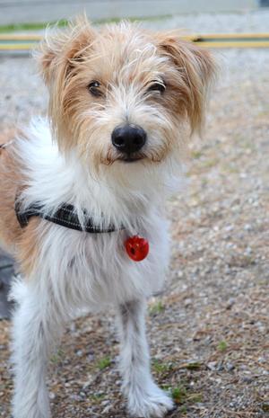 Kromfohrländer är en tysk sällskapshund, som också används som grythund. Finns som strävhårig och släthårig.