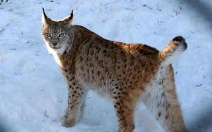 Nu är lodjursjakten avlyst i Dalarna. Tre lodjur har fällts i länet under jakten.