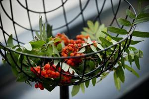 En rönnbärskvist blir en vacker dekoration.