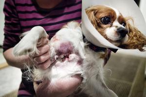 Den attackerande hunden bet Chessie väldigt illa.