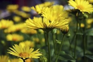 Vårkragen är tidigt blommande och lockar till sig många insekter. Den är härligt gul och tålig. Men den gillar att självså sig och sprider sig lätt.