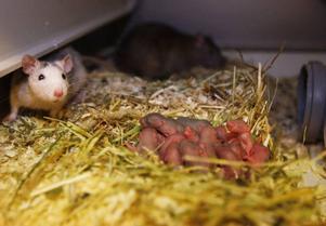 För ett dygn sedan födde det här råttparet 14 skära ungar. Att de senare ska bli ormmat är de lyckligt ovetande om.