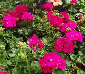 Pelargoner finner alltid köpare. En blomma som är lika populär år efter år.