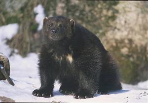 Järven är Sveriges största mårddjur. En vuxen järv väger 9–18 kilogram.