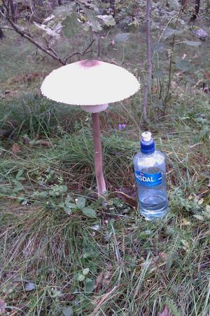 Denna 36 cm höga svamp hittade jag i skogen vid Eriksborg.