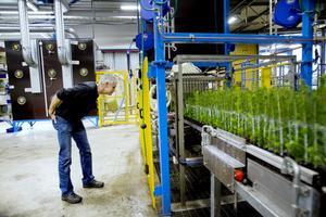 koll. Anders Lindgren inspekterar plantorna medan de åker genom limdelen.