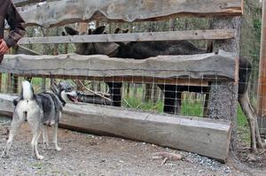 Kvannildalens hundar tränade på bland annat inkallning, något som de lugna älgarna knappt verkade märka av.