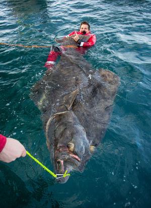 Hälleflundran vägde över 200 kilo.