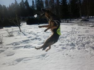 Trazy snart 1år älskar att hoppa efter snöbollar