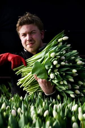 Andreas Nilsson med famnen full av sina favorittulpaner, de ljust rosa Upstar, jobbar på Målsta trädgård och har just nu fullt upp med att plocka tulpaner.