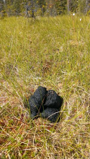 På sommaren består björnens avföring mest av gräs och har en svart färg som på bilden. Under hösten äter björnen mest blåbär.