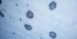 För små? De eventuella vargspåren är med all sannolikhet för små för att tillhöra varg, tror Länsstyrelsens rovdjurs-inventeringsansvarige.