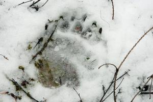 Det jaktliga trycket gör att stammen slutat växa.