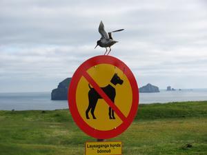 Då jag var till Vestmannaeyjar-Hemön, utanför Islands sydkust den 9 Juli 2011, såg jag denna skylt att hundar måste vara i koppel, men fåglar kan flyga fritt.