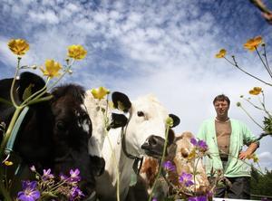 Det finns inte så många fjällnära kor kvar i landet. Några finns i Hoberg hos Tommy Håkansson, som är en av två åretruntboende i den lilla byn. Foto:Gunne Ramberg