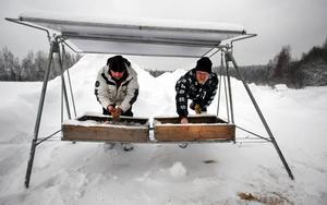 Svårt att hitta mat. Den stränga vintern gör det mycket svårt för rådjuren att hitta mat. Nu stödmatar jägarna dem i stället för jagar. Bengt-Olov Hedlund och Bengt-Olov Pettersson ingår i ett jaktlag som gemensamt köper in rådjursfoder som de placerar ut på utvalda platser. Här har en gammal hammock förvandlats till foderställ.