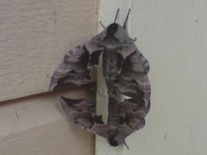 Bilden tog jag med gammal mobil och utan referenser. Paret var nästan i storlek 8x12 centimeter och något jag aldrig sett tidigare. Med dagens hjälpmedel kom jag fram till att det var en svärmare av arten Eyed Hawk-moth (videsvärmare). Vingbredd 65-90 mm! Dagen efter låg den ena avsvimmad och troligen hade han gjort sitt.