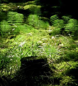 Sommarskogen bjuder på ljus och skuggor, som här, där en stubbe avtecknar sig mot en fondav skogsfräken.
