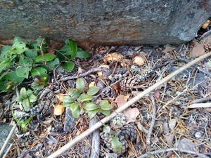 Ser ni dem? Kantarellerna är små, men vänta bara. Lite värme nu så växer de så det knakar. Johnny Storrönning tog bilden.