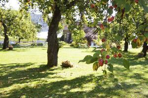 Här finns 14 äppelträd. Varje morgon plockas äpplena ihop i korgar, så att vem som vill kan ta.