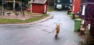 Djuret verkade inte rädd för vare sig bebyggelsen eller ljud inifrån husen. Efter att bland annat ha varit uppe på Angelika Karlssons veranda, vände det och sprang iväg genom bostadsområdet.