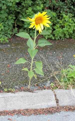 I år blommar asfalten. Blomman fick vara i fred öven en vecka men sedan var det någon som inte kunde motstå frestelsen att plocka den en mörk natt.