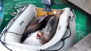 På San Cristobal i Galapagos tyckte sjölejonen om att ta en tupplur i deras dinge.