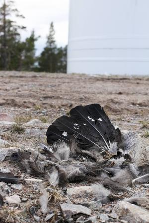 Tjäder dödad av vindkraftverk.