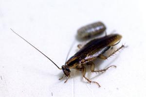 Det farliga med kackerlackan är att den kan bära på salmonella som vi människor sedan får i oss och blir sjuka.