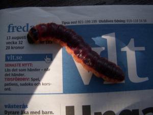 En Trädödarlarv kollar att tidningens